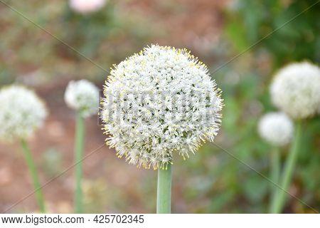 White Flower Of Onion (allium Cepa). Decorative Flowers In Garden, Sunny Summer Day.