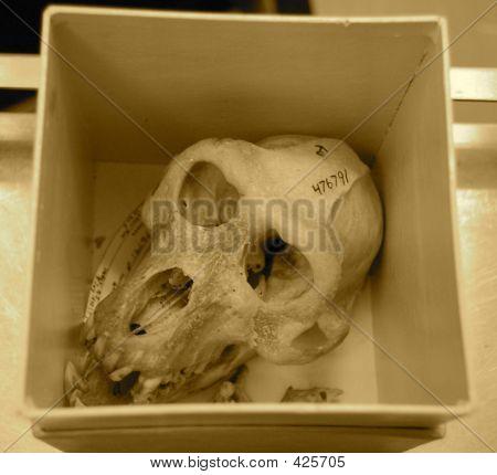 Monkey Skull Sepia