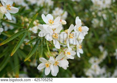 Choisya Shrub With Delicate Small White Flowers On Green Foliage Background. Mexican Mock Orange Eve