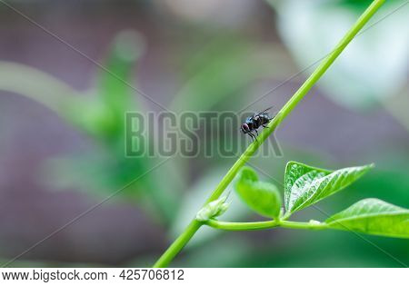 Common Green Bottle Fly Resting On A Long Bean Tree Branch