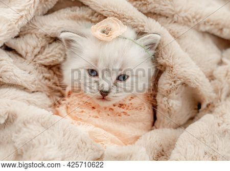Adorable little ragdoll kitten with blue eyes lying swaddled in fur and knitted blanket with flower on its head during newborn style photoshoot in studio and looking at camera. Cute kitty portrait
