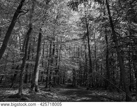 Low Angle Dreamy Forest Photo. Black And White. Moody.