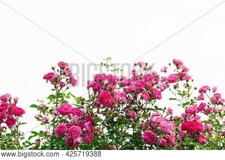 A Richly Flowering Rose Bush On A White Background. Place For The Inscription, Copyspace