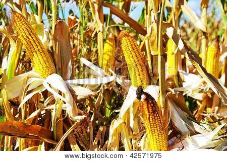 Yellow Corn In Autumn