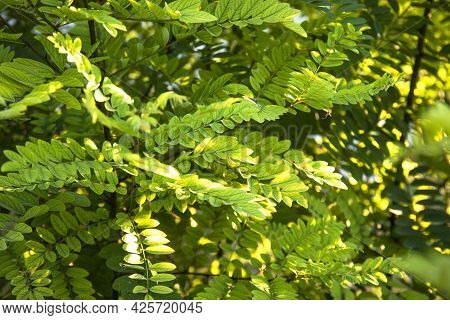 Bright Green Leaves Of Cassia Tree With Sunlights In The Forest
