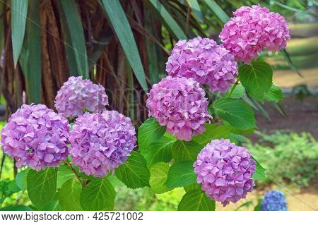 Beautiful Pink Flowers Of Hydrangea - Hydrangea Macrophylla - In Park On Sunny Summer Day