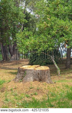 Stump Of Pine Tree In Park, Forestry