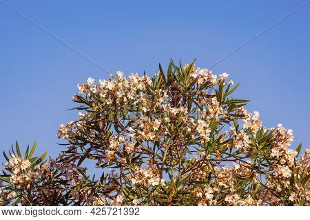 White Flowers Of Oleander Tree ( Nerium Oleander ) Against Blue Sky. Free Space For Text