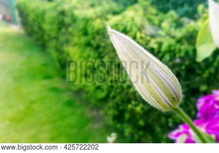 Pink Clematis Bud In Garden. Closep Flora. Frowth Flower, Start Blooming