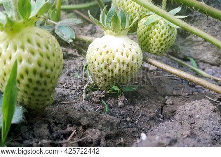 Unripe Green Strawberries Starting To Grow Ripe. Strawberries In The Garden On An Organic Farm. Ligh