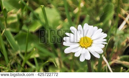 Macro Daisy Spring Flowr. White Chamomile On Meadow Background. Garden In Spring Time