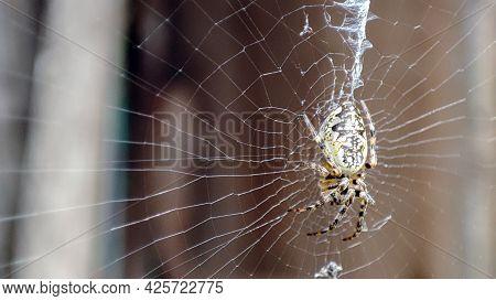 Closeup Macro Shot Of A European Garden Spider Sitting In A Spider Web. Cross Spider, Araneus Diadem