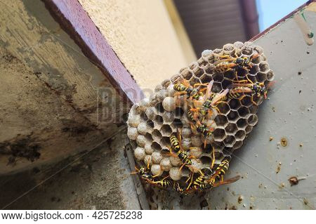 Wasp Sitting On Top Of Wasp Nest.  Close Up View