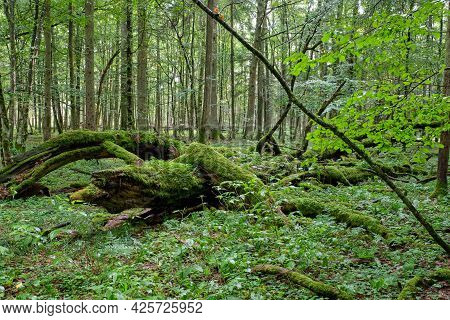 Morning In Deciduous Forest With Old Trees And Broken Partly Declined Ones,bialowieza Forest, Poland