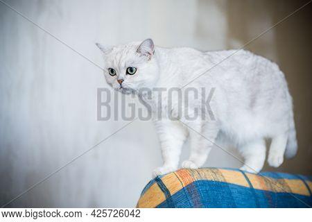 Adult Cat Pedigree Scottish Chinchilla Straight Ears