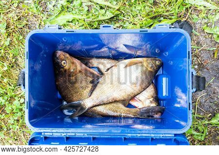 Several Caught Bream Are In A Rectangular Blue Bucket. View From Above. There Is A Fish Reflection O