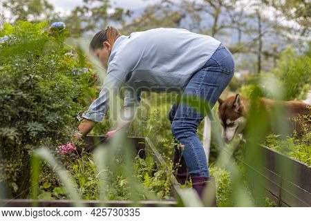 Woman Weeding Vegetable Garden With Her Dog By Her Side