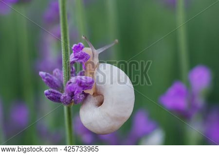 A White Snail Crawls In Lavender Flowers. Macro Image Of A Snail. A Snail Is A Mollusk (gastropod) W