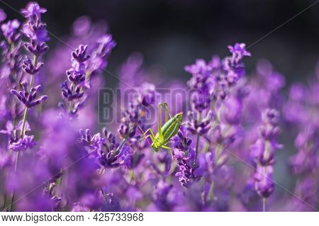 Lavender, Background Of Purple Flowers. Green Grasshopper Sits On Purple Flower. Lavender Is Used To