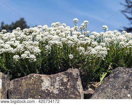 Evergreen Candytuft Flowers In A Rock Garden