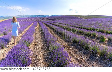 Lavender Field With A New Harvest Of Essential Oil Culture (panoramic Landscape). Turgenevka Village