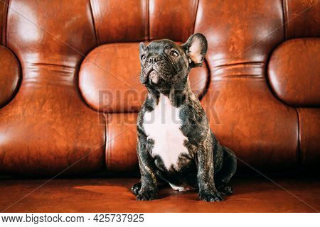 Young Small Black French Bulldog Dog Puppy Sitting On Sofa. Funny Dog Baby With Beautiful Black Snou