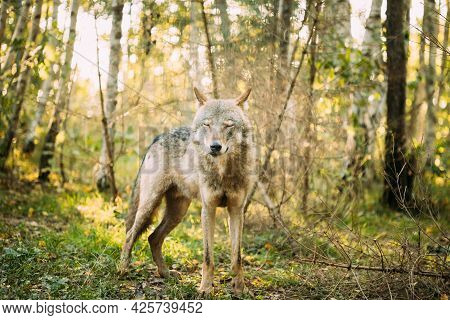 Belarus. Wolf, Canis Lupus, Gray Wolf, Grey Wolf With Closed Eyes Standing Outdoors In Autumn Day.