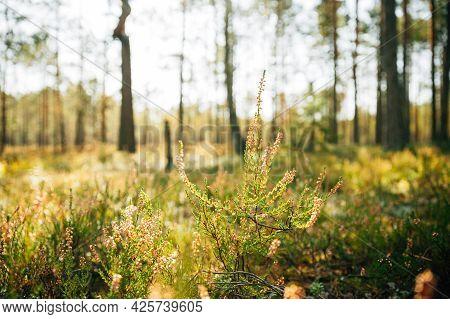 Calluna, Calluna Vulgaris, Common Heather, Ling, Heather, Native To Marshes. Close Up Autumn Plants