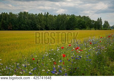 Beautiful Summer Landscape With A Rye Field Next To A Green Tree Forest Along Which A Long Line Grow