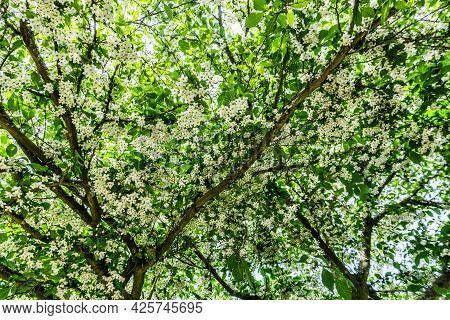 Petit White Flowers Background. Location Is Seatac, Washington.