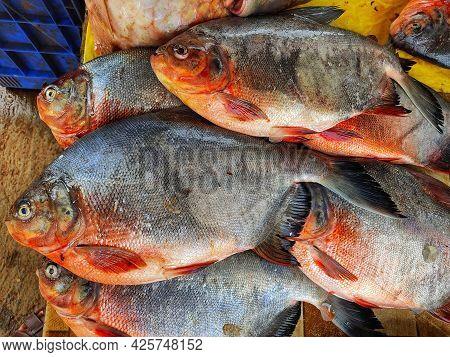 Pirhana Look Alike Serrasalmid Fish Rupchandi Pacu Fish Sale In Indian Fish Market