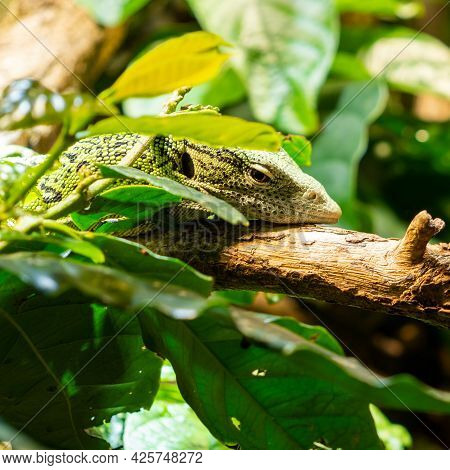 The Emerald Tree Monitor Or Green Monitor Lizard Is A Small To Medium Sized Tree Lizard. It Is Known