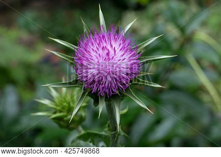 Whole fresh purple milk thistle flower close up outdoors