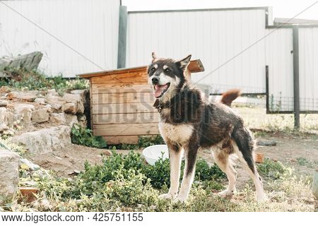 Street Dog Malamute Chained By The Booth. The Sled Dog Is Girded And Chained Up Near Its Kennel. Liv