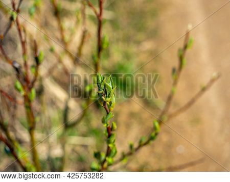 Close-up Of A Young Green Leaf On A Shrub. The Concept Of Spring, The Revival Of Nature. Blurred Bac
