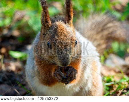 Large Portrait Of A Squirrel Sitting On The Green Grass In The Park On A Sunny Spring Day. Close Up