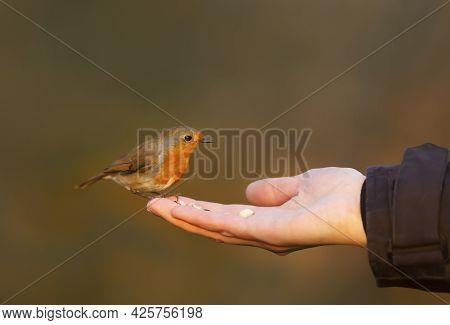 Close Up Of A Robin Feeding On Hand, Uk.