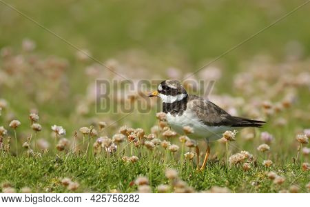Ringed Plover (charadrius Hiaticula) In Pink Thrift On A Coastal Area Of Noss Island, Scotland.