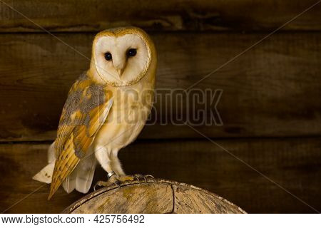 A Barn Owl Perched On An Old Wooden Wheel In A Barn