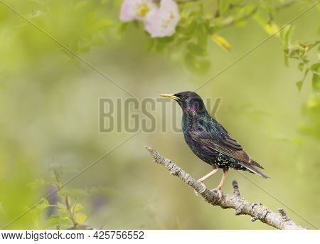 Close Up Of A Common Starling (sturnus Vulgaris) Perched On A Branch In Summer, Uk.