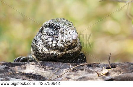 Close Up Of A Black And White Tegu (salvator Merianae), Pantanal, Brazil.