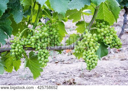 Bunches Of Grapes On The Plant During The Setting Phase. Agriculture.