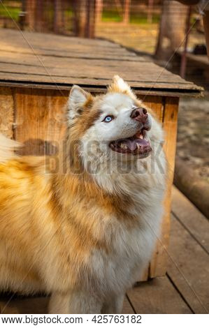 Purebred Husky In An Open-air Cage At A Dog Farm Haskiland Near Kemerovo, Russia