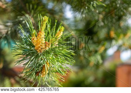 A Green Natural Background With Close-up View Of A Branch Of Pine Flowering On Sunny Day, Siberia, R