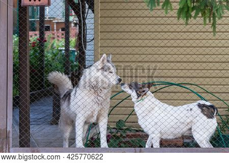 Two Dogs, A Pet Husky And A Mongrel, Guard The House In The Yard Behind The Fence In Summer.