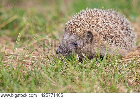 Hedgehog (scientific Name: Erinaceus Europaeus) Close Up Of A Wild, Native, European Hedgehog, Facin