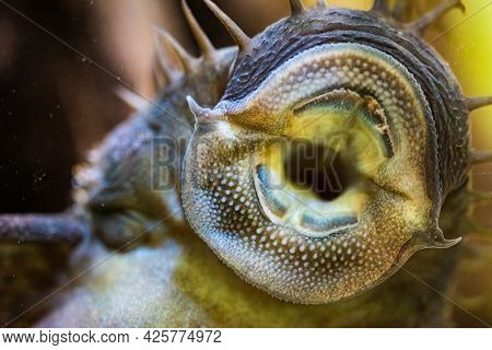 Ancistrus Species Longfin Bushymouth Catfish On Aquarium Glass.