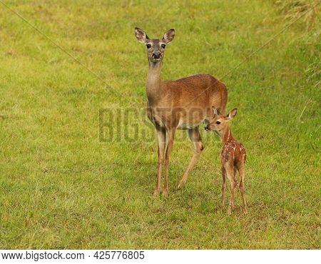 Two Deer, A Doe And Her Spotted Fawn, Standing In A Grassy Green Field. The Doe Is Looking At The Ca