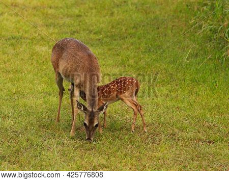 Mother White Tail Deer Doe Nursing Her Spotted Baby Fawn In A Grassy Field