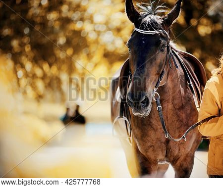 Portrait Of A Sports Horse In The Bridle. Horse Muzzle Close Up. Portrait Stallion In The Bridle. Dr